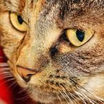 猫の目やには病気のサイン?色や量など様々な特徴から判断しよう!