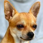 犬の目やには要チェック!目やにからわかる犬の体調について。