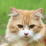 絶対に防ぎたい猫白血病!正しい対策と予防を理解しよう。