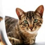猫の尿路結石とは。猫は1日でもおしっこをしないと危険!?